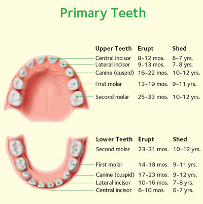 Chart-Primary-Teeth.jpg